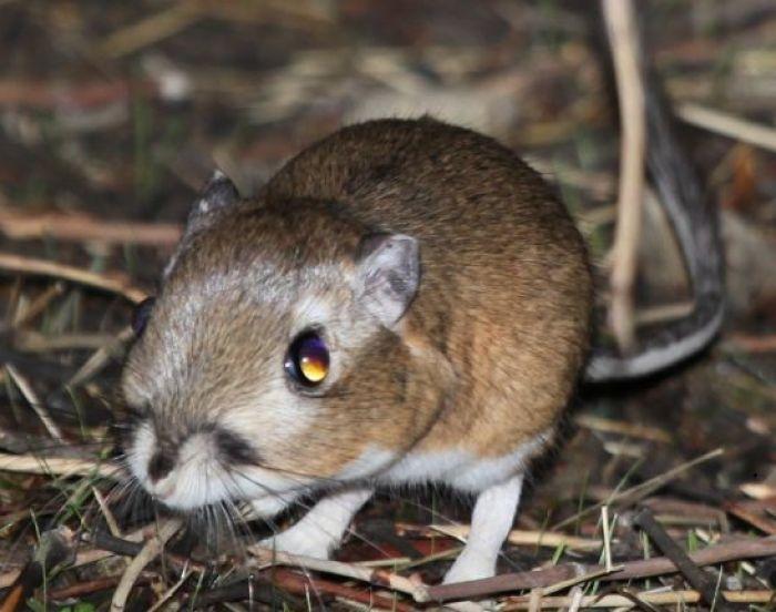 132.Ord's Kangaroo Rat