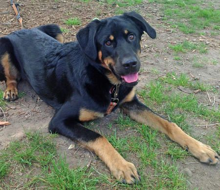 Bowser the black and tan coonhound/german shepherd/lab