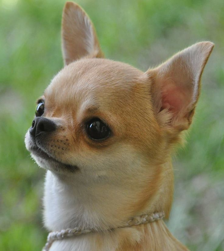 Perfect Chihuahua head