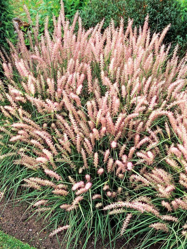 17 best images about gardening ornamental grasses on for Ornamental grasses with plumes