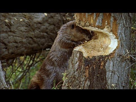 ▶ How Beavers Build Dams | Leave it to Beavers | PBS - YouTube