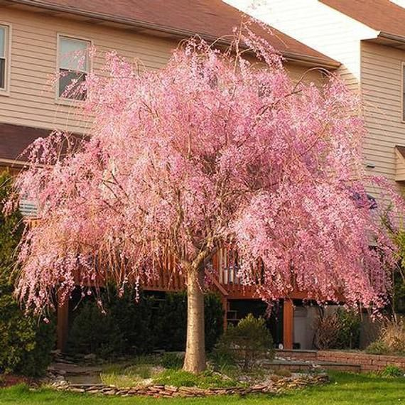 Pin On Weeping Trees