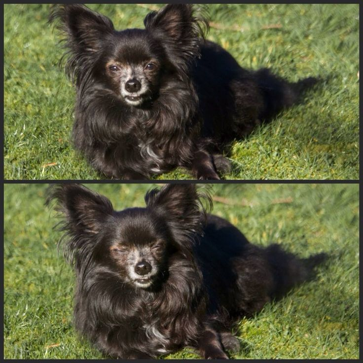 If i couldn't have had my little dog fly with me in cabin, i would've driven the 1336 miles to Florence myself. We have a small, long haired chihuahua who is about to turn 11 and shakes…