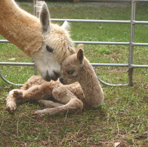 Recently born baby alpaca or cria (from the Spanish for creation). Belongs to the farm, Humming Star Alpacas.