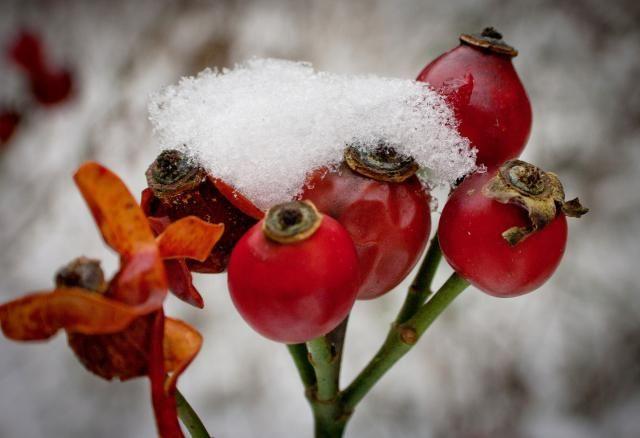El escaramujo es el fruto del rosal silvestre. Aprende cuándo y cómo cosechar los escaramujos, cómo conservarlos y cómo usarlos.