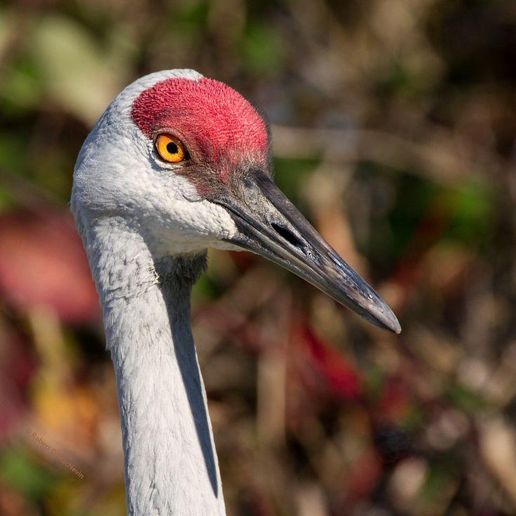 124 Best Sandhill Cranes Herons Images On Pinterest
