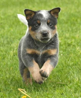 Australian Cattle Dog - Blue Heeler. (Have had 3 of these!)