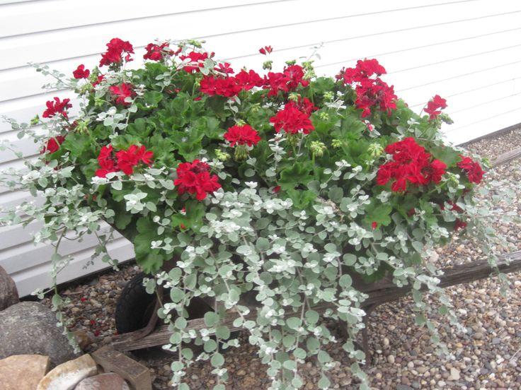Red Velvet Geraniums And Licorice Vine Geraniums