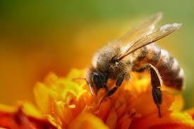 crema al veleno d'api