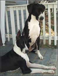 Mantle Great Dane Colors this is what we have Zadok P Warnke is one of these.