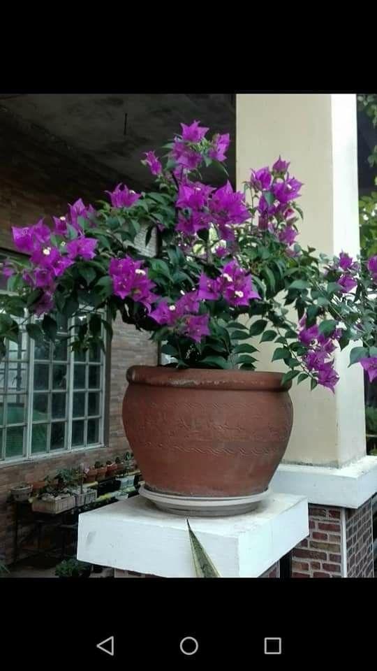 Lieblings Sao Paulo | Purple Bougainvilleas | Bougainvillea, Garden, Plants &NN_83