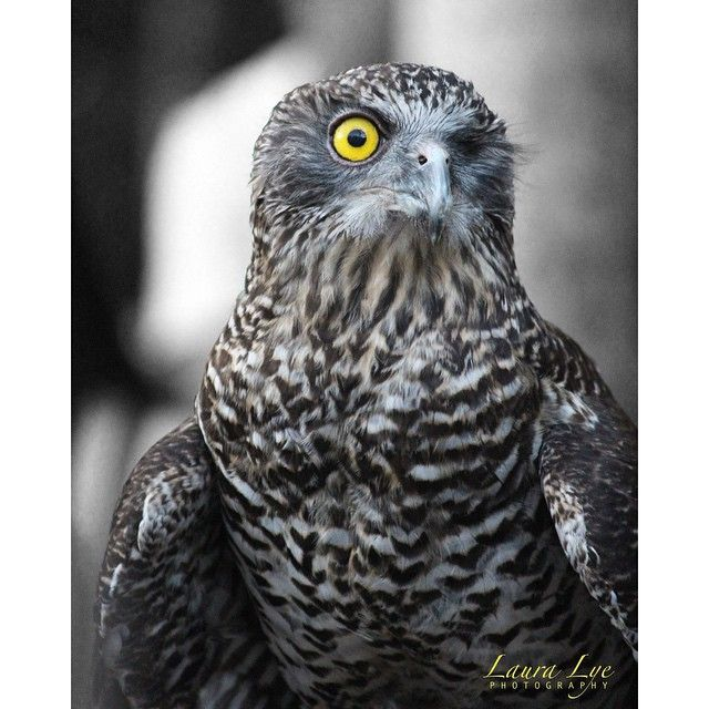 What you looking at?! @lauralyephotography captured this barking owl at Australia Zoo