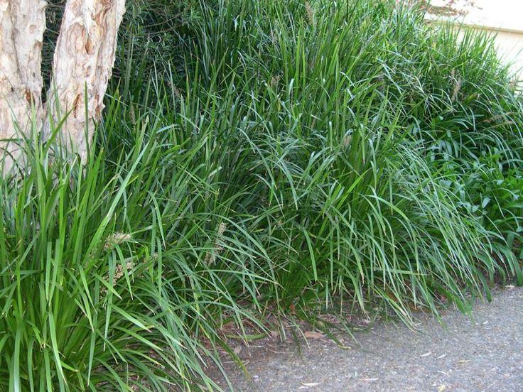 Lomandra longifolia 'breeze' : can grow in semi-shaded aspects
