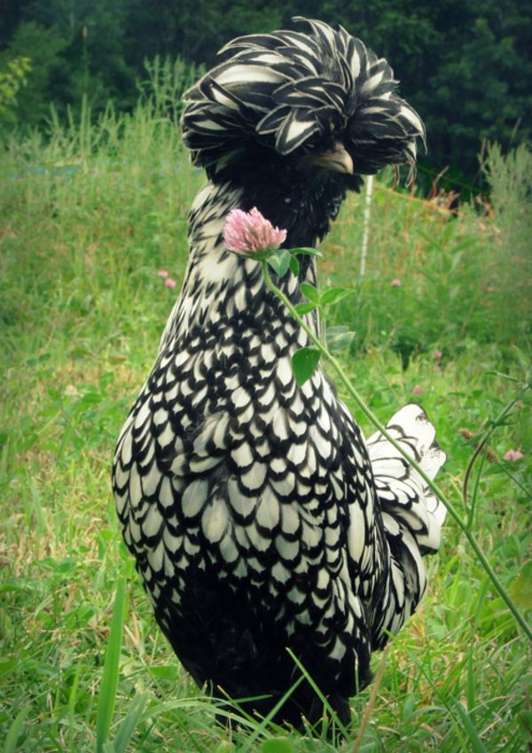 Polish Chicken. Pretty, looks Lacey. That's what I would name her, Lacey. lol The head feathers are cracking me up.