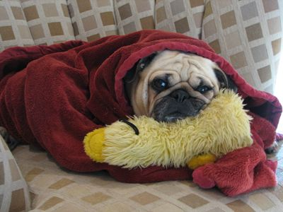 This Sleepy Pug Is All Wrapped Up In A Blanket Pugs In
