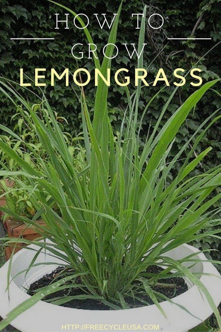 Pin By Marika On Bon Appetit Grow Lemongrass Lemon Grass Indoor Vegetable Gardening