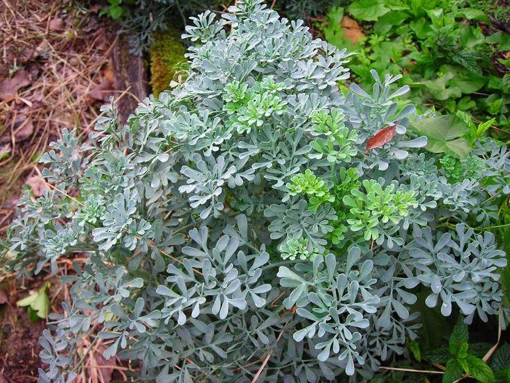 Como cuidar una planta de ruda en maceta casa dise o - Como cuidar hortensias en maceta ...