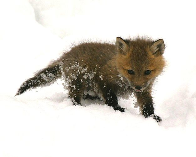 This fox kit answers that question. | This Year's 45 Most Lovable Baby Animal Pictures