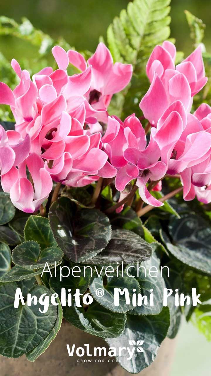 Die Neuen Zuchtungen Vertragen Leichte Froste Kuhle Und Feuchte Witterung Geschutzt Durch Ein Dichtes Blatterdach Schi Alpenveilchen Pflanzen Blumen Pflanzen