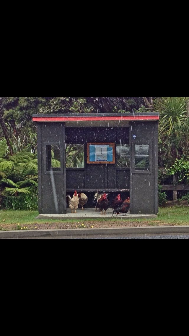 Roosters hiding from the rain