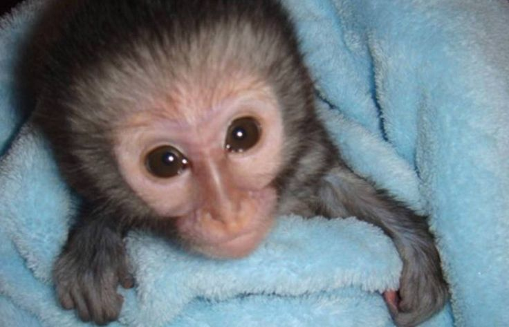 """Primate & Wildlife Project. Who wouldn't love to be a """"mommy"""" or """"daddy"""" to this face??"""