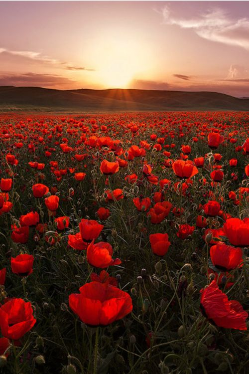 Sunset in Poppy Field, Tajikistan