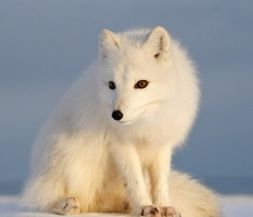 The polar fox: in winter, its thick white coat makes it harder for its prey to see it in the snow. Send this stunning e-card to a friend, it's free! https://www.foe.co.uk/living/cards