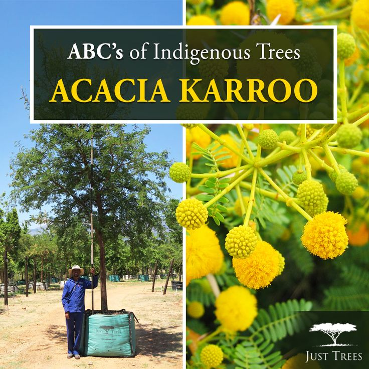 The Acacia karroo (or Sweet Thorn) is one of South Africa's most useful and beautiful trees! An integral part of our country's history, it has been used for raft-making, sewing needles, fencing & the thorns were even use by early naturalists to pin insects! This deciduous tree makes a beautiful garden specimen with its bright yellow flowers. Adaptable in various soils and with a fast growth rate, the Sweet Thorn also works well as windbreak or as a shade tree!