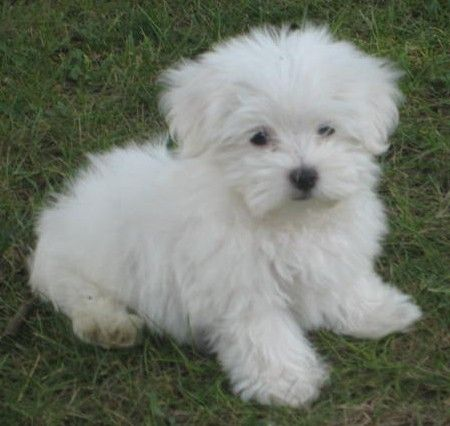 Maltese dogs | Cute Little Maltese Puppies and Dogs