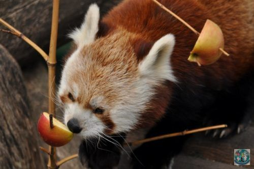 Did you know about the red pandas? Well, this is one little cute red panda at Schonbrunn Zoo from Vienna (Wien), Austria