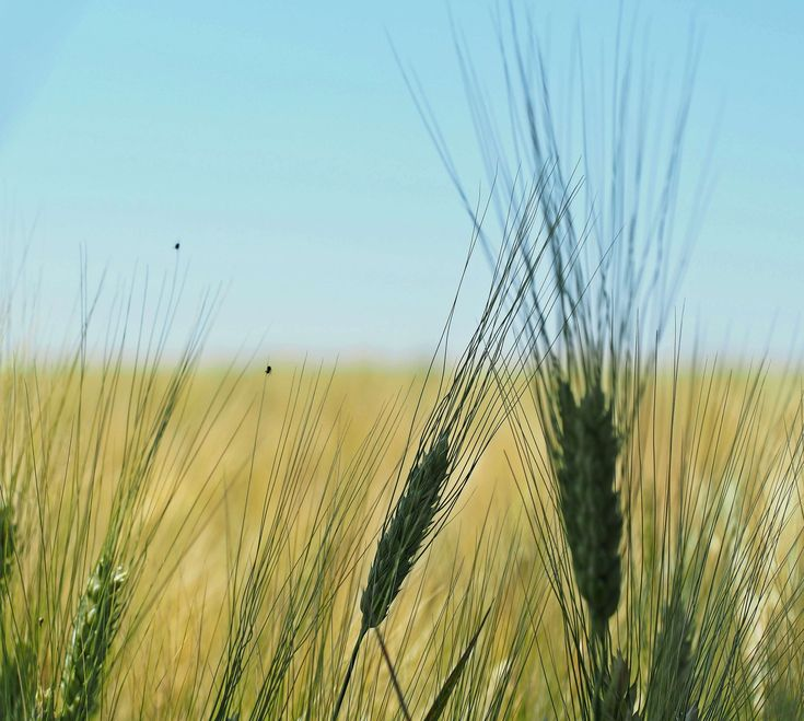 #agriculture #background #baked goods #barley #barley field #biological #cereals #cornfield #cultivation #field #food #harvest #hot #landscape #nature #nourishing barley #plant #ripe #spike #summer #vegan #vegetarian