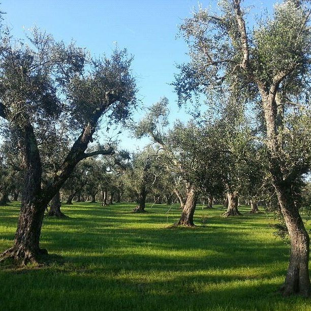 We never get tired of this beautiful everyday sight here in Puglia. Miles and miles of olive groves. Did you know that there are approx 60 million olive trees here in Puglia (the heel of Italy)? That's 1 olive tree for every person living in Italia!