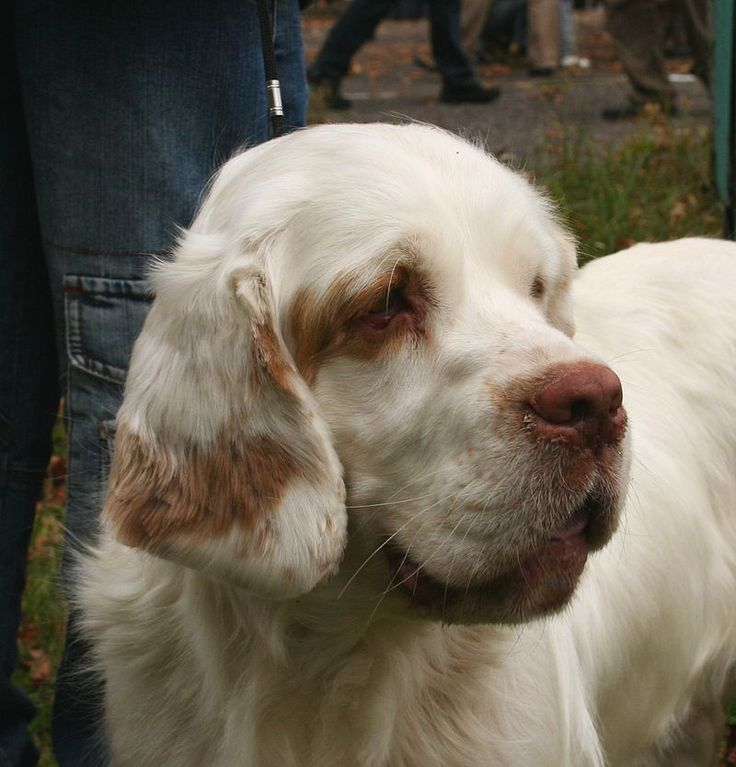Clumber Spaniel Pup ~ Classic Look