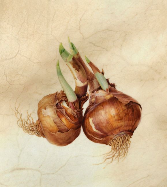 Karen Kluglein  Narcissus Bulbs, 2009  Watercolor on veiny calfskin vellum
