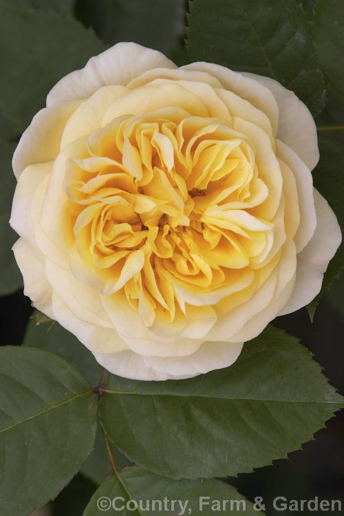 Rosa 'Yellow Charles Austin', (sport of 'Charles Austin'). A strongly scented English Shrub Rose raised by David Austin of England in 1981.
