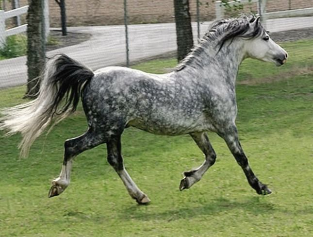 Welsh Pony Section A stallion Lochinvar...packing so much pony into that body that i can barely stand it!!!