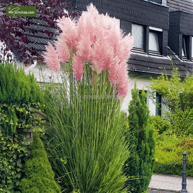 Fabulous Rosa Pampasgras im Garten Pflanzen im Garten Mit ein paar Blumen im Garten Blumenbeeten Deko Ideen f r den Garten Fr hlingsdekoration Fr hlingsdeko oder