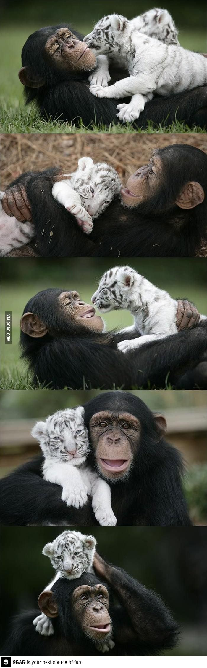 Best buds! ... chimp and white tiger ...