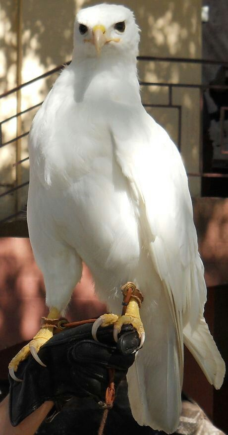 Falcon - not an albino his eyes aren't pink. But he does lack color pigment in his feathers. Beautiful.