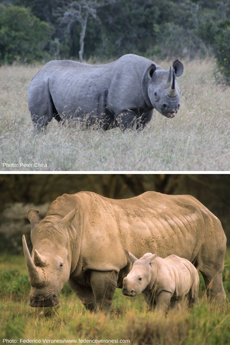 African Rhino Diet   Diet Plan