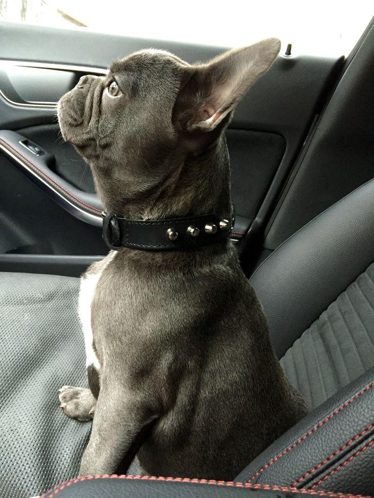 Bulldog francese blu BRUNO