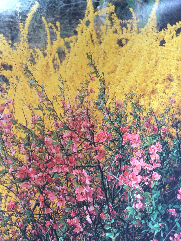 Flowering Quince And Forsythia Flower Farm Garden