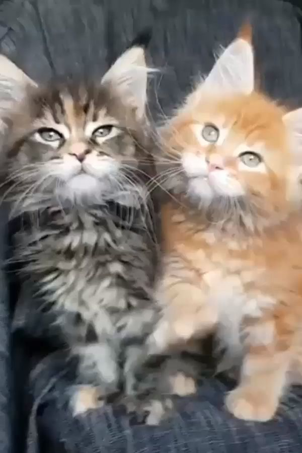 Where to Find Free Maine Coon Kittens – Bettina Harter