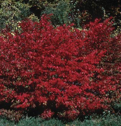 Euonymus alatus   Fine Gardening