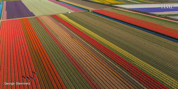 See striking and colorful fields of Dutch tulips | http://ti.me/1DAvJs1  Photo: @georgesteinmetz