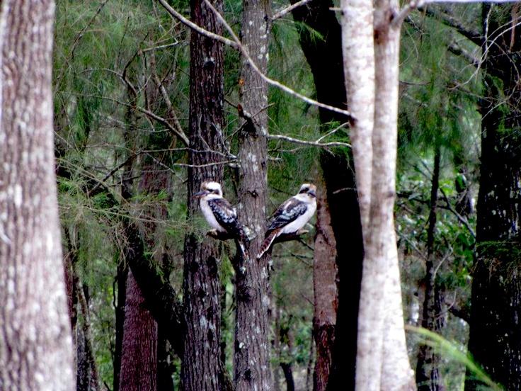 Native Kookaburra's, Fraser Island, QLD
