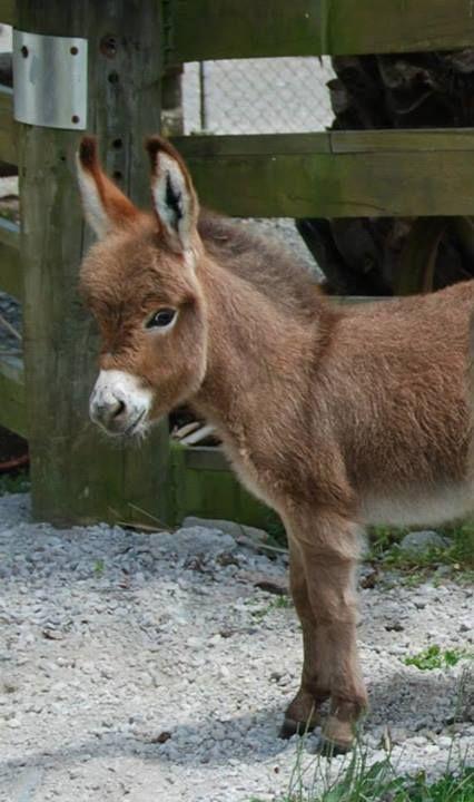 Gracie our little miracle baby. Courtesy: Clovercrest Miniature Donkey Stud, Pukekohe (New Zealand).