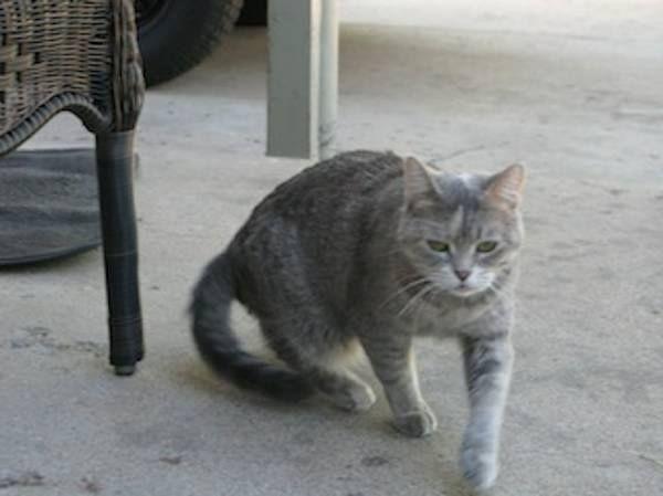 COFlood COPets FOUND CAT Grey & cream cat w/ sparkly