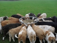 Feed Ring for Cattle