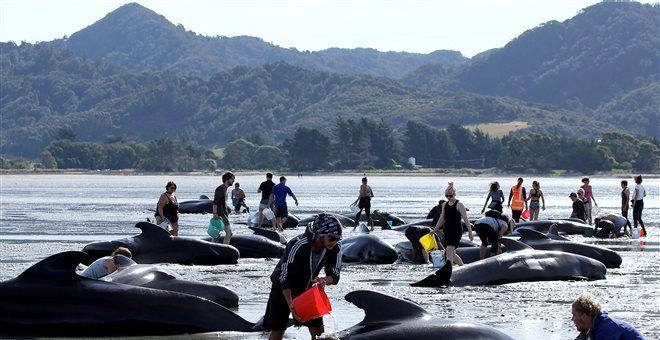 «Ξανά σε τροχιά» οι 200 από τις 650 φάλαινες που εξώκειλαν στη Νέα Ζηλανδία — ΣΚΑΪ (www.skai.gr)
